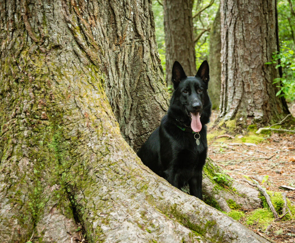 Picture of Leroy the solid black German Shepard in his staring role for Best Hikes for Dogs