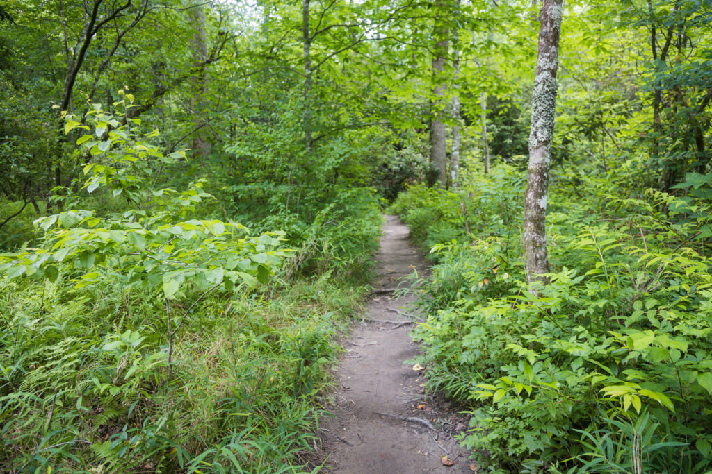 Dirt trail surround by nettle plant