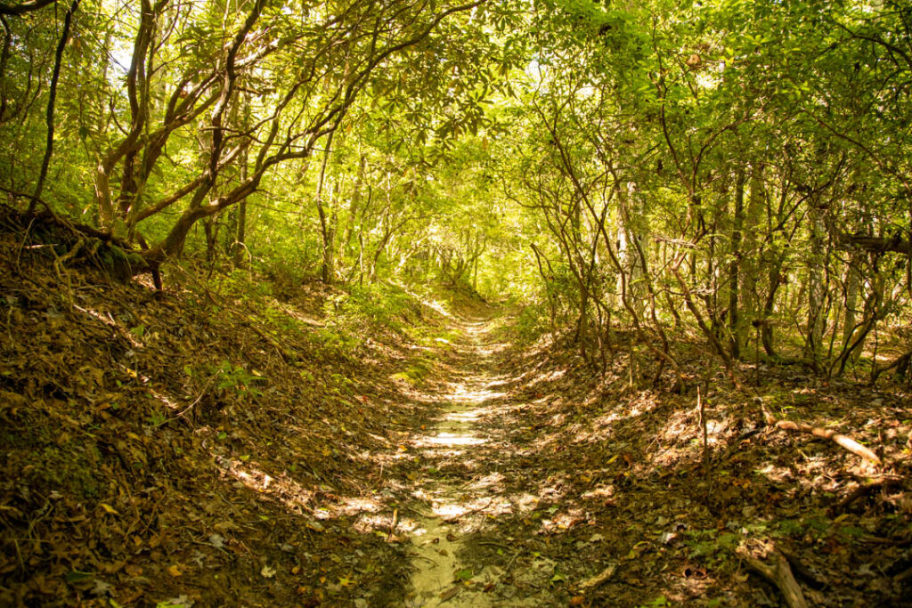 Rhododendron covered trail in Pisgah National Forest.